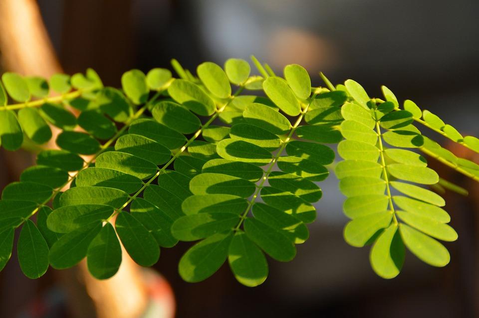 Hojas De Moringa, Moringa Leaves