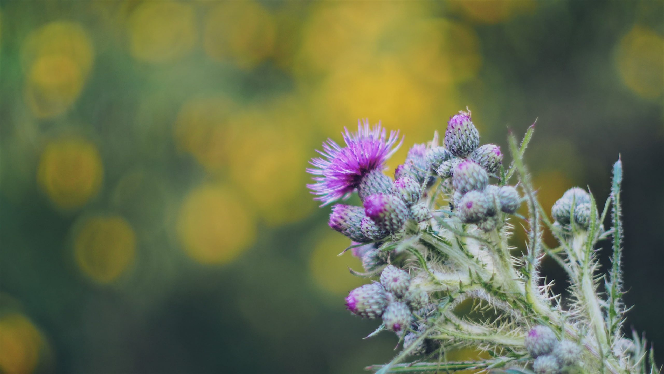What Is Milk Thistle Used For?: Top 7 Properties